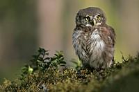 Young Eurasian Pygmy Owl (Glaucidium passerinum), Finland, Europe