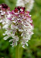 Close_up of a burnt orchid Orchis ustulata