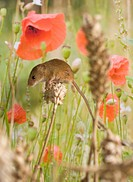 Harvest mouse micromys minutus searching for food amongst wheat and wildflowers in an Oxfordshire field, England