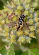 Hoverfly Eristalis arbustorum nectating on ivy blossom, England