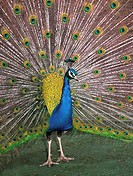 Portrait of a peacock Pavo cristatus dramatically displaying its feathers to attract a female in an ornamental garden in Norfolk