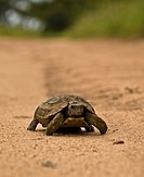 Leopard tortoise Geochelone pardalis walking on the road in Mala Mala, South Africa