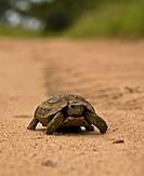 Leopard tortoise Geochelone pardalis walking on the road in Mala Mala, South Africa