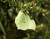 Brimstone butterfly Gonepteryx rhamni on hebe at Bournemouth in summer, England
