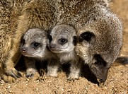 Two young meerkats Suricate are under the protection of one of the adults, South Africa
