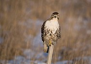 Red_tailed hawk Buteo jamaicensis hunting and perching on a steel post, Ontario, Canada
