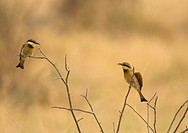 Pair of little bee_eaters Merops pusillus in courtship