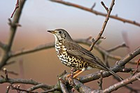 mistle thrush Turdus viscivorus, sitting on a branch, Germany, Rhineland_Palatinate