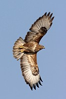 Eurasian buzzard Buteo buteo, flying, Germany, Hesse