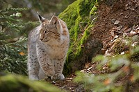Young Eurasian Lynx (Lynx lynx) keeping look-out