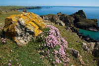 Orange xanthoria lichen and thrift growing amongst rocks on a cliff_top overlooking Kynance Cove, Lizard