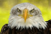 Bald eagle Haliaeetus leucocephalus full face