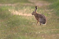 Brown hare Lepus capensis, Sweden