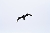 Great skua Catharacta skua soaring at Noss Head