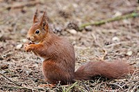 Red squirrel Sciurius vulgaris feeding