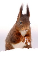 European red squirrel, Eurasian red squirrel Sciurus vulgaris, in snow, Germany
