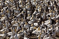 Cape gannet colony Morus capensis, Lambert´s Bay, South Africa