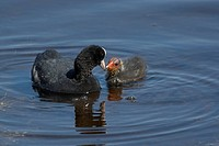 Coot Fulica atra feeding young at Strumpshaw Fen, Norfolk, England, United Kingdom