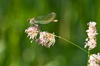 Female banded demoiselle damselfly Calopteryx splendens resting on a grass flower head