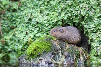 Water vole Arvicola terrestris at the entrance of its burrow in a liverwort covered river bank, England