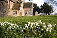 A wide_angle view of a group of snowdrops Galanthus rivalis growing in a lawn in a churchyard, with Castle Rising church in the background, Norfolk