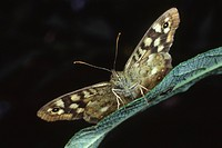 Close_up of a speckled wood butterfly Pararge aegeria resting with open wings showing front view