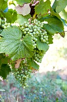 Grapes on vine tree in France