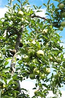 Apples hanging on tree, France