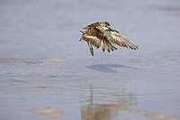 Least sandpiper Calidris minutilla flapping wings after washing at Fort de Soto, Florida, USA