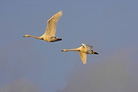 Whooper swans Cygnus cygnus flying in evening light over Welney, Norfolk, England