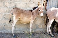 Donkey Equus asinus filly in the shade