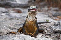 Land Iguana Conolophus subcristatus licking its lips after eating the fruit of a Giant droopy prickly pear cactus Opuntia spp echios var echios at Sou...