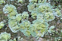 Close_up abstract of large patches of a crust forming lichen Leproloma vouauxii showing the warty surface texture, growing on a gravestone in a Norfol...