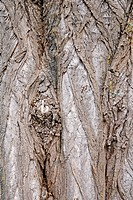 Bark of Black Locust tree Robinia pseudoacacia