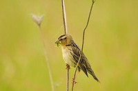 Female bobolink Dolichonyx oryzivorus perching and feeding on insect, Ontario, Canada