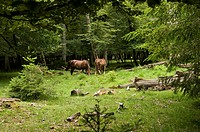 New Forest ponies grazing in open field between trees