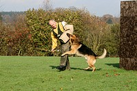 German Shepherd Dog Canis lupus f. familiaris, biting into the arm of his instructor at the protection dog training