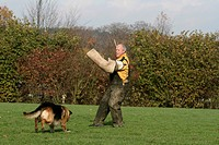 German Shepherd Dog Canis lupus f. familiaris, facing up to his instructor at the protection dog education