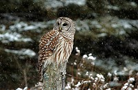 Barred owl Strix varia perched on a branch in the snow, Whitby, Ontario, Canada