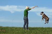 English bulldog Canis lupus f. familiaris, young woman playing with dog on a meadow. The dog is jumping, trying to reach a toy, Germany