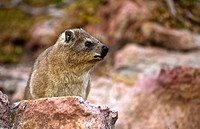Rock hyrax Procavia johnstoni in rocky habitat, Western Cape, South Africa