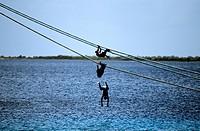 Boys diving from mooring rope of a cruise liner in Bonaire, The Netherlands Antilles