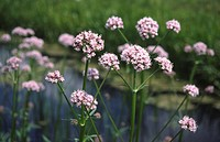 A wide_angle view of a group of common valerian Valeriana officinalis growing at the edge of a dyke at Welney, Cambridgeshire