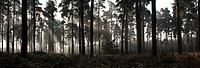 Fog at sunrise in a Scots pine forest Pinus Sylvestris, with rays of sunlight between the trunks and bracken covering the forest floor in autumn Mundf...