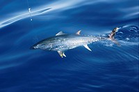 Blue fin tuna Mediterranean big game fishing and release