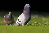 domestic pigeon Columba livia f. domestica, two individuals on meadow, Germany