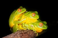 Three Red Eyed Green Tree Frogs, Litoria chloris  Coffs Harbour, Australia  After heavy summer rains, these frogs gather together in the hope of findi...
