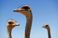 Ostriches at an ostrich farm near Oudtshoorn, Western Cape, South Africa, Africa