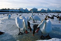 Swans on a frozen lake at Nymphenburg palace, Munich, Bavaria, Germany