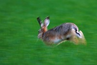 European hare Lepus europaeus, fleeing, Germany, Rhineland_Palatinate